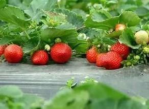 温室草莓丰产栽培技术简单又高效