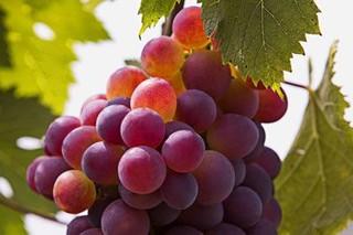 安图山葡萄