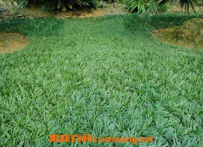 玉龙草的作用是什么