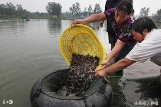 池塘养殖成鱼秋季捕捞技术要点