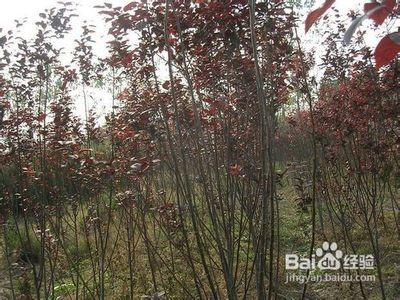 红叶李如何管理?红叶李栽植后的管理