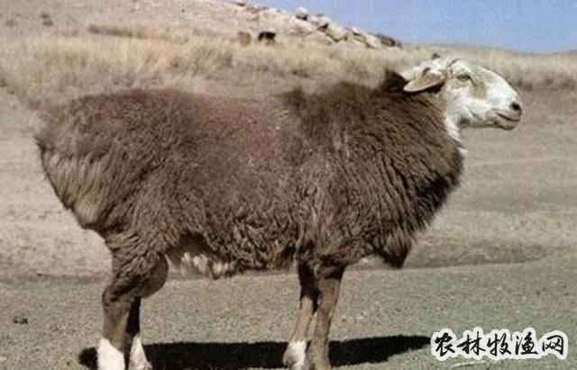 和田一牧场羊肉