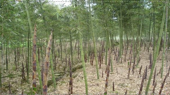 雷竹一亩种植多少棵?雷竹高产栽培技术