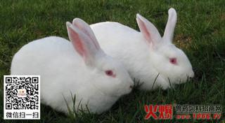 有效提高种兔繁殖力的方法