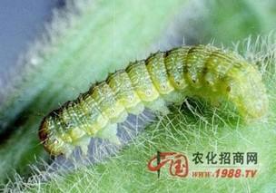 菊花棉铃虫防治方法