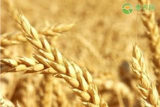 今日小麦价格多少钱一斤?2021年4月13日小麦最新行情价格走势