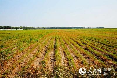 齐齐哈尔:种植赤芍发展特色农业