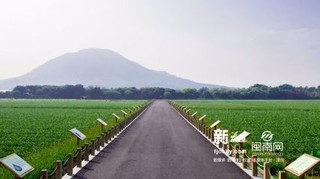 漳州高新区:水仙花海进行水稻轮种