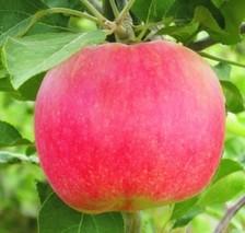 如何使苹果幼树早结果