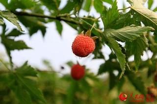 宁波象山树莓成熟待采摘