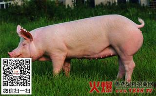 母猪饲喂无机盐饲料很关键