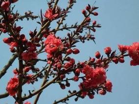 红叶碧桃长几年能开花?红叶碧桃花期简介