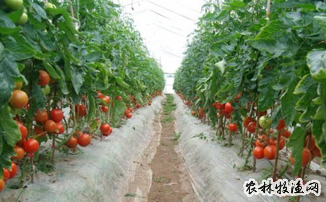 晚番茄种植技术