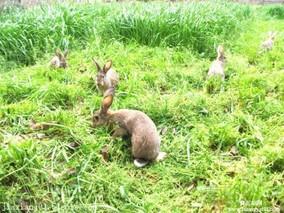 养殖户喂养思麻兔的管理技术