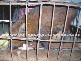贵州长顺:返乡极速5分排列3工养野猪