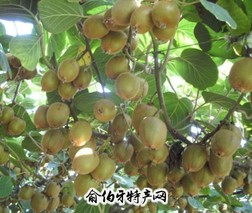 中华猕猴桃