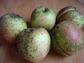苹果腐烂病防治
