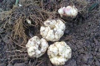 百合种球怎么催芽?百合种球发芽后怎么养?