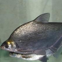 团头鲂鱼种喂养的注意事项