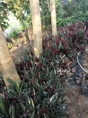 七彩竹芋有什么作用?七彩竹芋的用途