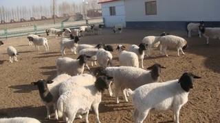 种羊近亲交配害处多