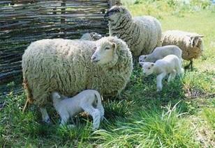 绵羊药浴应事项