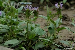 半枝莲和白花蛇舌草