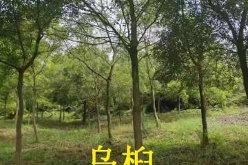 乌桕树怎么播种育苗