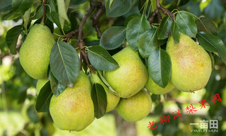 河套苹果梨