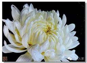 珍稀品种――白牡丹
