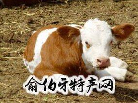 拜泉县黄肉牛