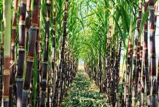 中国的甘蔗哪儿最出名