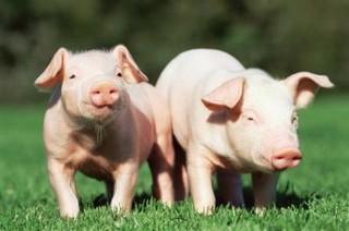 走起路来摇摇晃晃 猪儿得了猪链球菌病