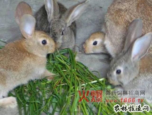 冬季野兔饲料加工注意啥