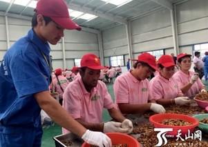 小核桃撑起边疆脱贫大产业——新疆叶城县脱贫攻坚纪实