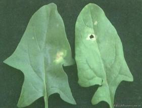 如何防治叶菜类蔬菜病虫害?