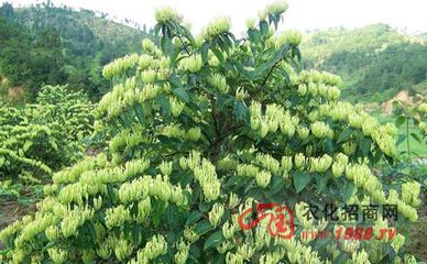 种植金银花种植管理技术