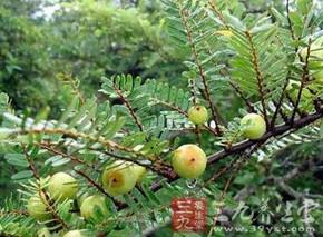 油柑木皮的功效与作用