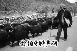 牙山黑绒山羊