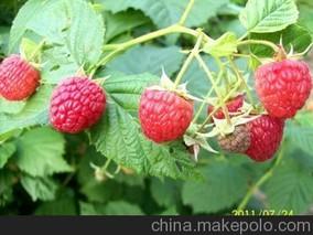 浙江东阳引进美国双季红树莓
