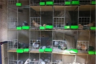 科学配对提高养鸽效益