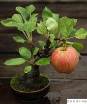 苹果盆景怎么种植