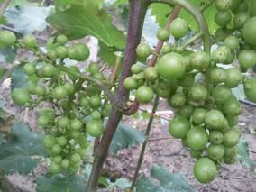 掌握绿色窍门应对葡萄大小粒