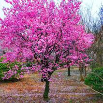 红梅花可以种在院子里吗?庭院红梅种植的讲究
