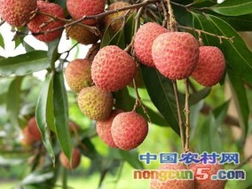 广东荔枝红了 销售火爆