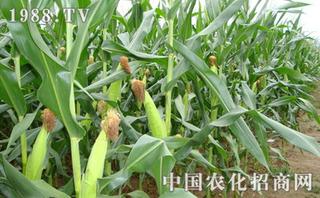 玉米如何施用硫酸锌肥料