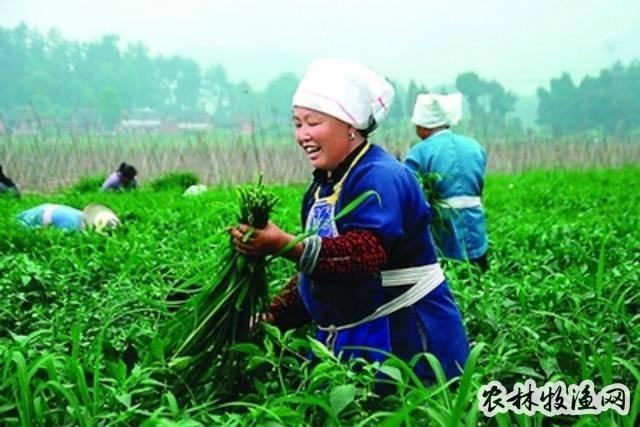 贵州蔬菜远销粤港澳 千亩大坝迎丰收