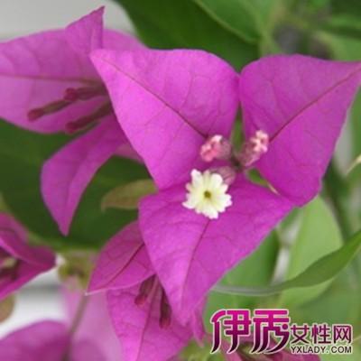 三角梅一年能开几次花?花盆养三角梅的养殖方法和注意事项
