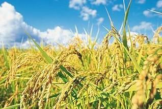 现在稻谷的价格是多少钱一斤?后期走势怎样?