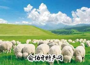 张北细毛羊